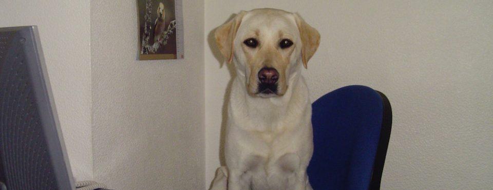 Chien Labrador assis au bureau